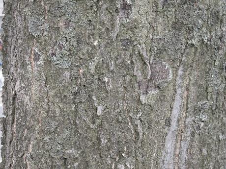 トチノキ樹皮.jpg