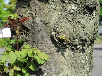 ナナカマド樹皮.jpg