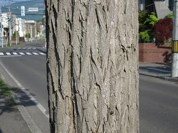 ニセアカシア樹皮.jpg